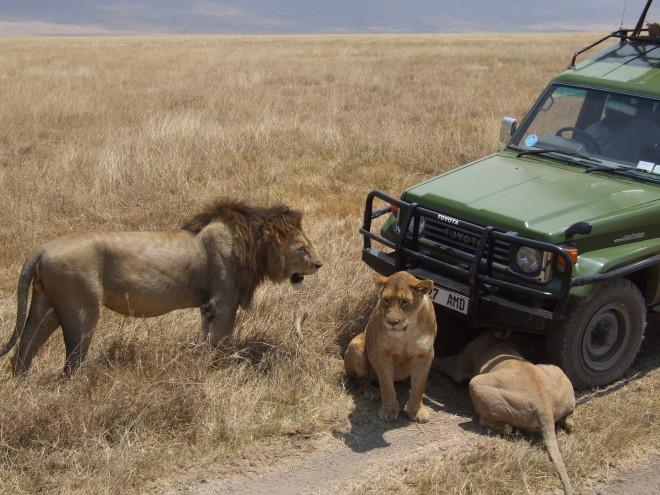 Lion_Ngorongoro