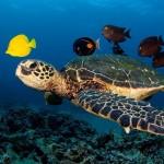 Черепахи и морские рыбки