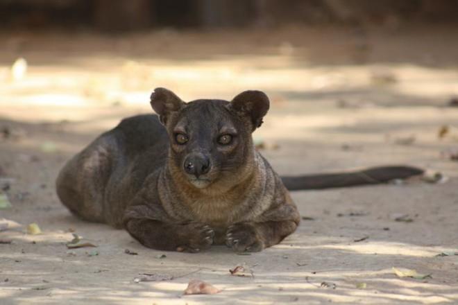 Хорьковая кошка на Мадагаскаре